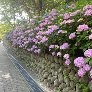 紫陽花とカフェ【田中's日記】